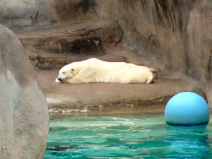 #10 POLAR BEAR SULKING